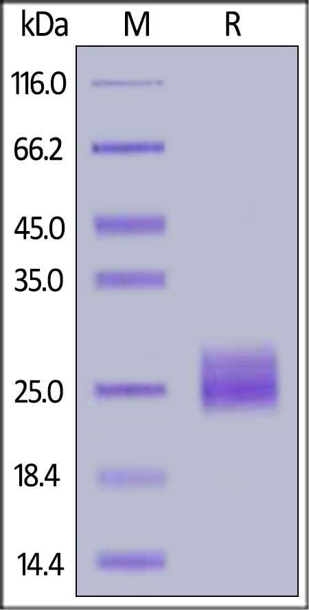 SDS-PAGE - Recombinant mouse VEGFA protein (Active) (ab185265)