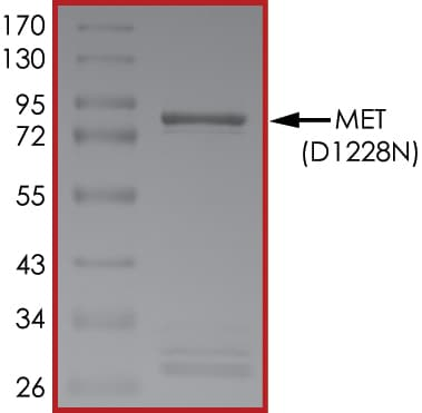 SDS-PAGE - Recombinant human Met (c-Met) (mutated D1228 N) protein (ab185270)