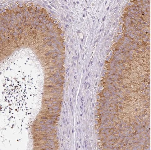 Immunohistochemistry (Formalin/PFA-fixed paraffin-embedded sections) - Anti-MORN4 antibody (ab185347)