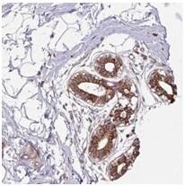 Immunohistochemistry (Formalin/PFA-fixed paraffin-embedded sections) - Anti-DUBA2 antibody (ab185352)