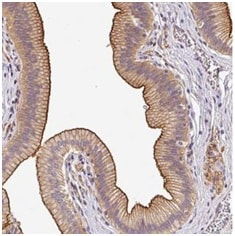 Immunohistochemistry (Formalin/PFA-fixed paraffin-embedded sections) - Anti-OR11H4 antibody - C-terminal (ab185361)
