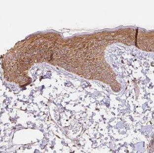 Immunohistochemistry (Formalin/PFA-fixed paraffin-embedded sections) - Anti-COX8A antibody (ab185449)