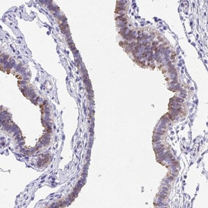 Immunohistochemistry (Formalin/PFA-fixed paraffin-embedded sections) - Anti-FAM107A antibody (ab185459)