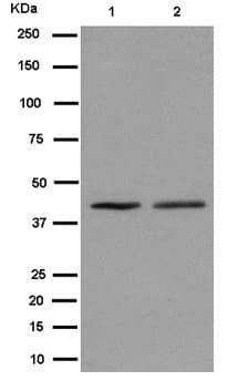 Western blot - Anti-Methionyl Aminopeptidase 1/MAP 1 antibody [EPR15452(B)] (ab185540)