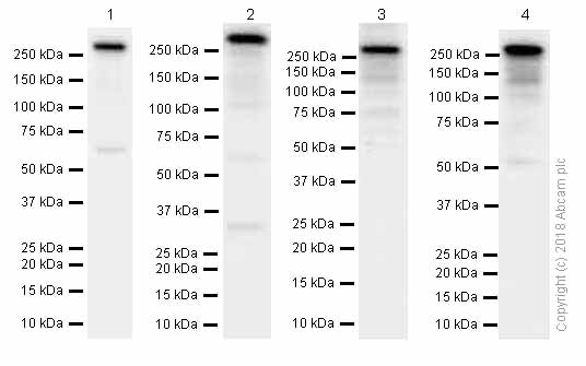 Western blot - Anti-PRPF8/Prp8 antibody [EPR15229] - C-terminal (ab185547)