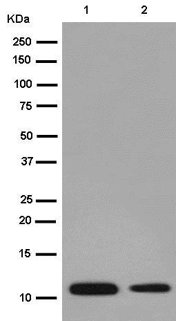 Western blot - Anti-CRP-1 antibody [EPR14345-43] (ab185558)