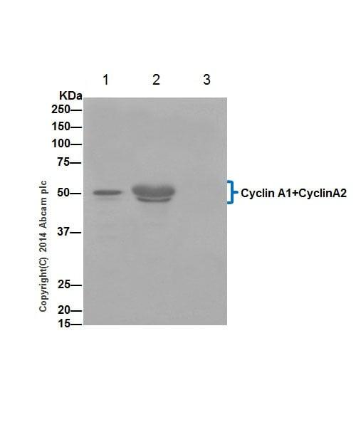 Immunoprecipitation - Anti-Cyclin A1 + Cyclin A2 antibody [EPR18054] (ab185619)