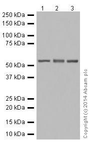 Western blot - Anti-CYP2D6 antibody [EPR17868] (ab185625)