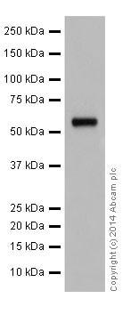 Western blot - Anti-AKT1 + AKT2 + AKT3 antibody [EPR17671] (ab185633)