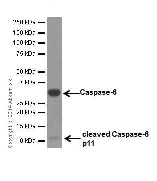 Western blot - Anti-Caspase-6/CASP-6 antibody [EPR18046] (ab185646)