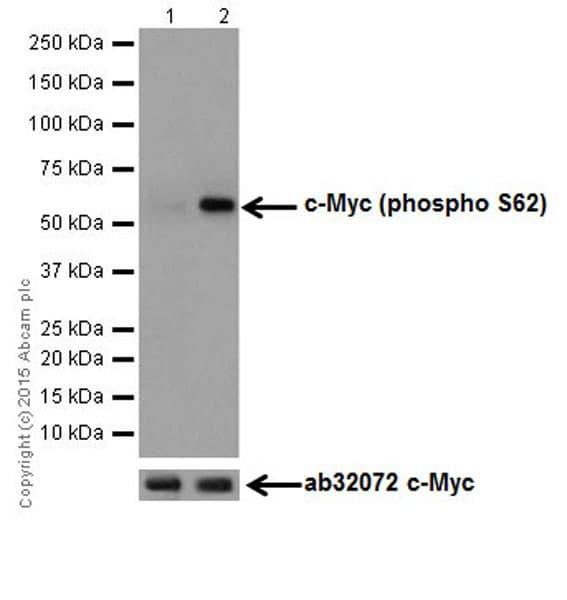 Western blot - Anti-c-Myc (phospho S62) antibody [EPR17924] (ab185656)
