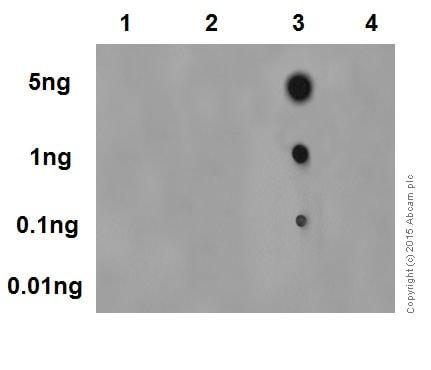 Dot Blot - Anti-c-Myc (phospho S62) antibody [EPR17924] (ab185656)