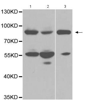 Western blot - Anti-DNA Polymerase iota antibody (ab185686)