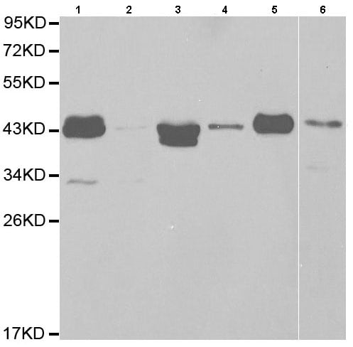 Western blot - Anti-HLA Class I A1 antibody (ab185706)