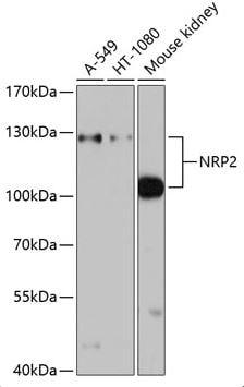 Western blot - Anti-NRP2 antibody (ab185710)
