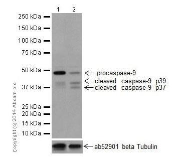 Western blot - Anti-Caspase-9 antibody [EPR18108] (ab185719)