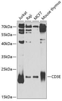 Western blot - Anti-CD3 epsilon antibody (ab185811)