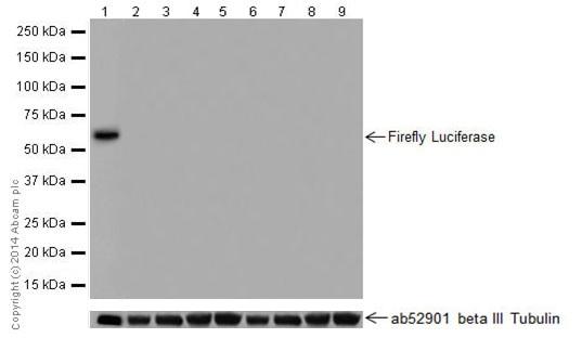 Western blot - Anti-Firefly Luciferase antibody [EPR17790] (ab185924)