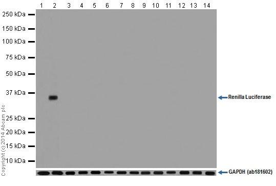 Western blot - Anti-Renilla Luciferase antibody [EPR17791] (ab185925)
