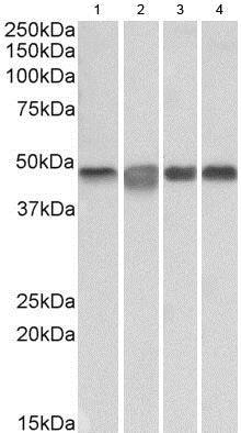 Western blot - Anti-MEK2 antibody (ab185934)