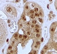 Immunohistochemistry (Formalin/PFA-fixed paraffin-embedded sections) - Anti-Jagged1 antibody - C-terminal (ab185936)