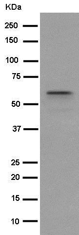 Western blot - Anti-MRPP3 antibody [EPR14321-30] (ab185942)