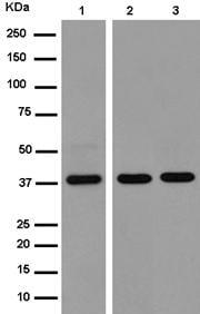 Western blot - Anti-TMEM30B antibody [EPR14409] (ab185944)