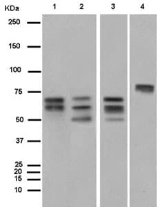 Western blot - Anti-BIN1 antibody [EPR13463-25] (ab185950)