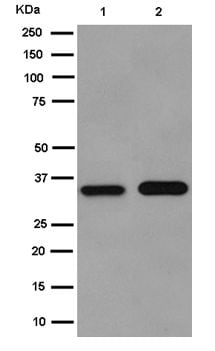 Western blot - Anti-Annexin-2/ANXA2 antibody [EPR13053(2)(B)] - C-terminal (ab185957)