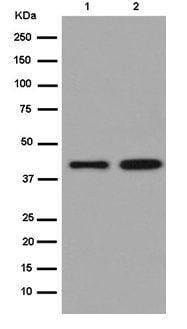 Western blot - Anti-Meis homeobox 3/MEIS3 antibody [EPR15416] (ab185961)