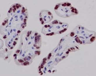 Immunohistochemistry (Formalin/PFA-fixed paraffin-embedded sections) - Anti-RYBP antibody [EPR13059(2)] (ab185971)
