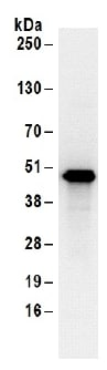 Immunoprecipitation - Anti-SEPT7 antibody (ab186021)