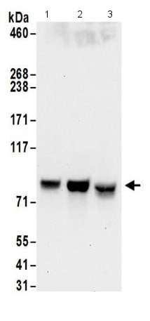 Western blot - Anti-Glycogen synthase 1/GYS1 antibody - C-terminal (ab186068)