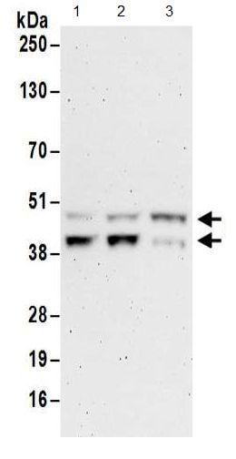 Western blot - Anti-FNTA antibody (ab186136)