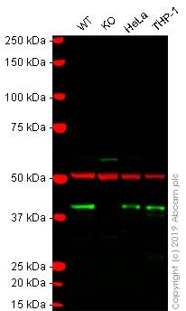 Western blot - Anti-QKI antibody [N147/6] (ab186245)