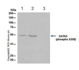Immunoprecipitation - Anti-GATA3 (phospho S308) antibody [EPR18118] (ab186371)
