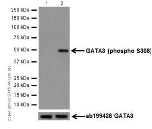 Western blot - Anti-GATA3 (phospho S308) antibody [EPR18118] (ab186371)