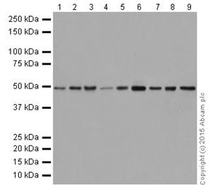 Western blot - Anti-IRF1 antibody [EPR18301] (ab186384)