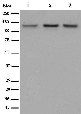Western blot - Anti-POLD1 antibody [EPR15118] (ab186407)