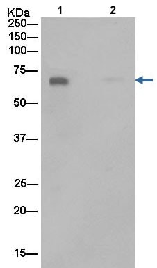 Immunoprecipitation - Anti-Dkk3 antibody [EPR15611] (ab186409)