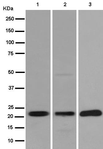 Western blot - Anti-NKp30 antibody [EPR14509] (ab186425)