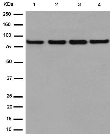Western blot - Anti-MS2 antibody [EPR14612] (ab186432)