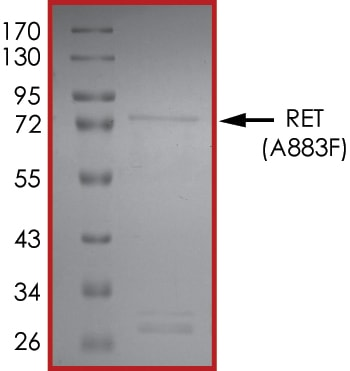 SDS-PAGE - Recombinant human Ret (mutated A883F) protein (ab186459)