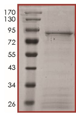 SDS-PAGE - Recombinant human ALK protein (ab186464)