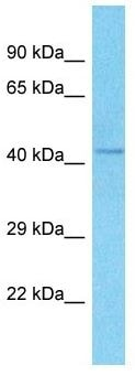 Western blot - Anti-RMND5A antibody (ab186496)
