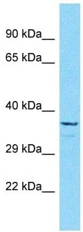 Western blot - Anti-OR5B3 antibody - C-terminal (ab186624)