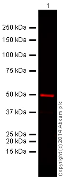 Western blot - Goat Anti-Mouse IgG H&L (Alexa Fluor® 680) preadsorbed (ab186694)
