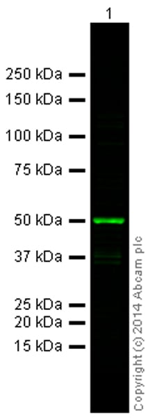 Western blot - Goat Anti-Mouse IgG H&L (Alexa Fluor® 790) preadsorbed (ab186695)