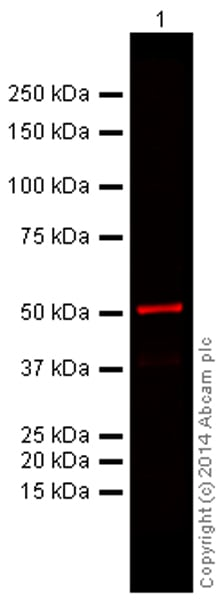 Western blot - Donkey Anti-Mouse IgG H&L (Alexa Fluor® 680) preadsorbed (ab186698)