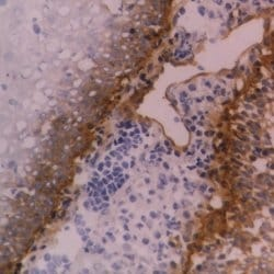 Immunohistochemistry (Frozen sections) - Anti-Integrin beta 4 [4509D] antibody - Azide free (ab186719)